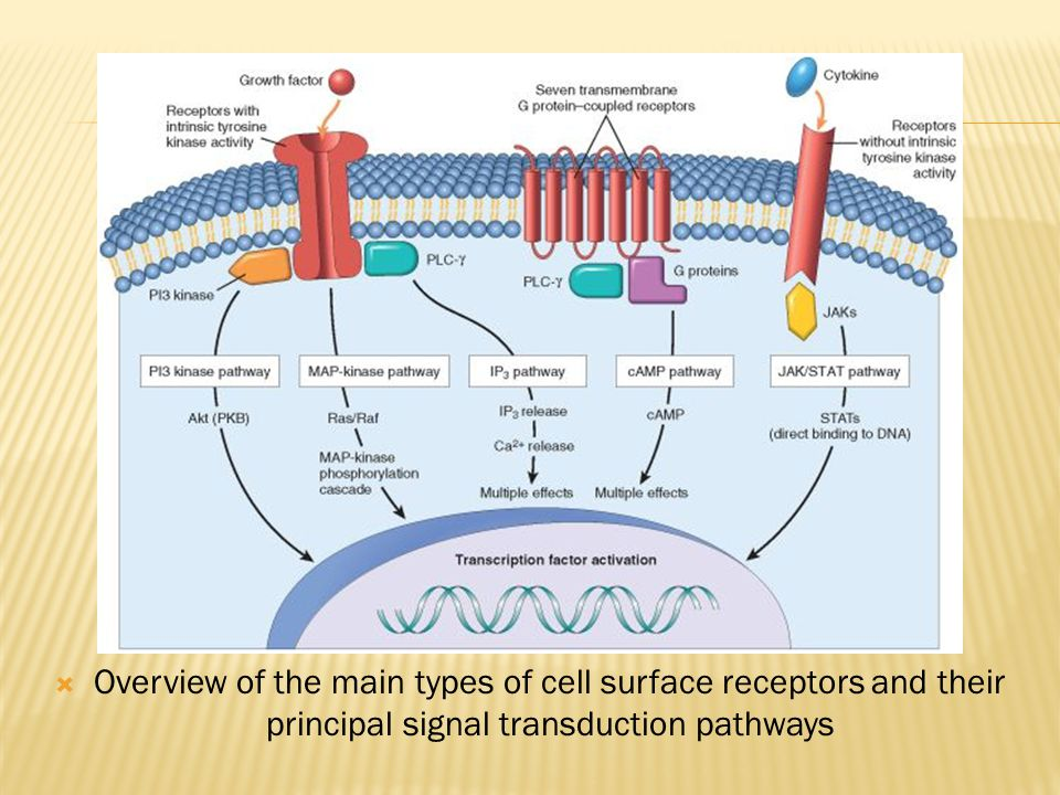 Overview of the main types of cell surface receptors and their principal signal transduction pathways