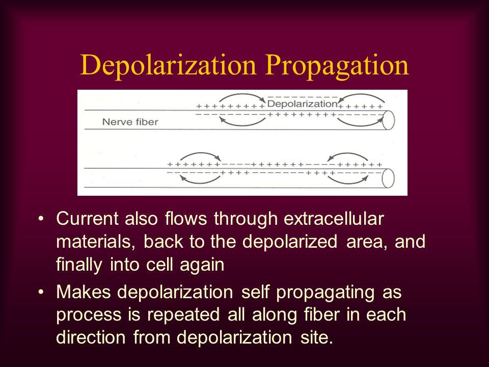 Depolarization Propagation