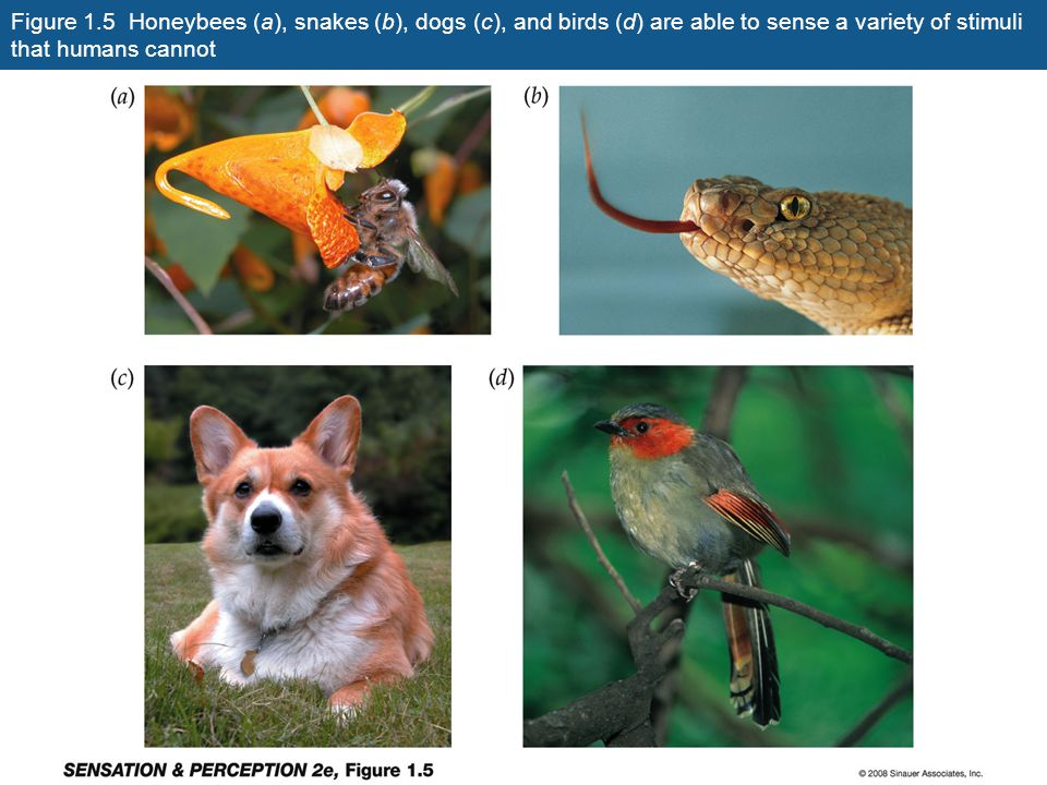 Figure 1.5 Honeybees (a), snakes (b), dogs (c), and birds (d) are able to sense a variety of stimuli that humans cannot