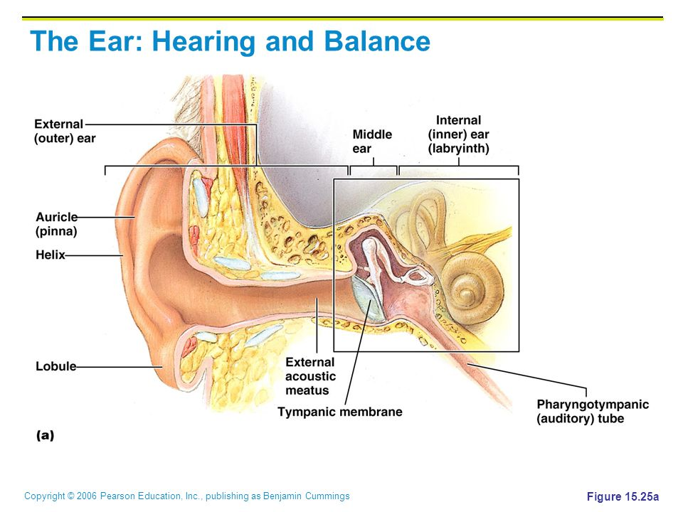 The Ear: Hearing and Balance