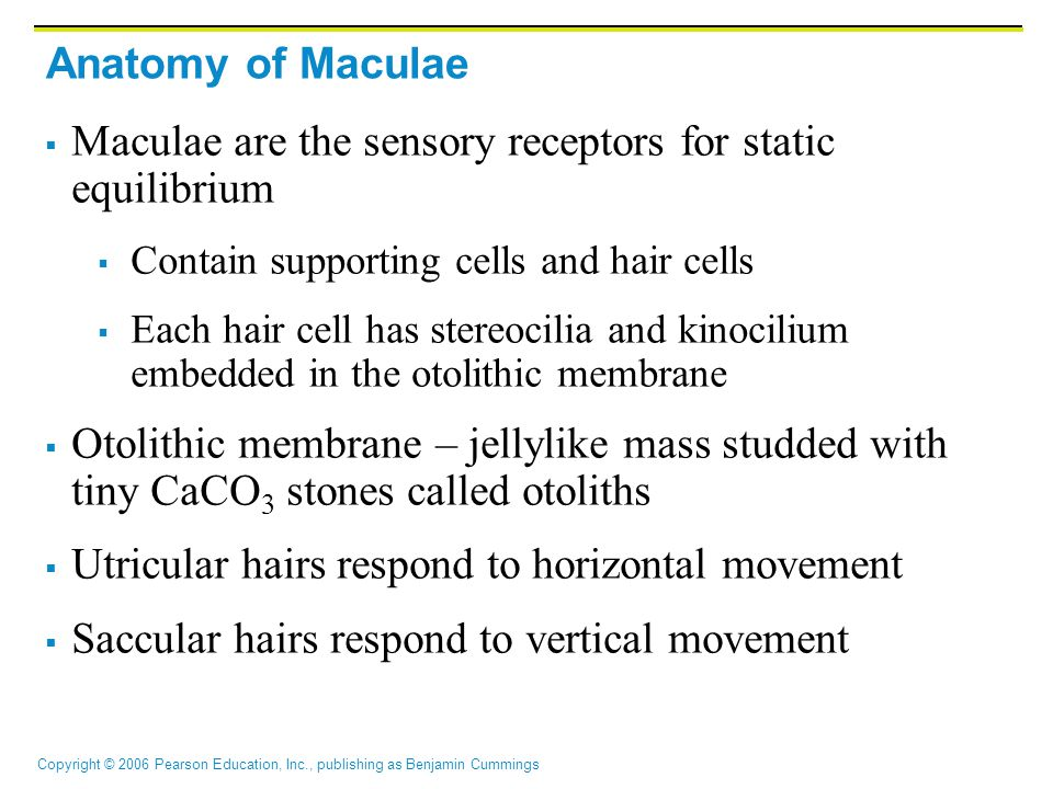 Maculae are the sensory receptors for static equilibrium