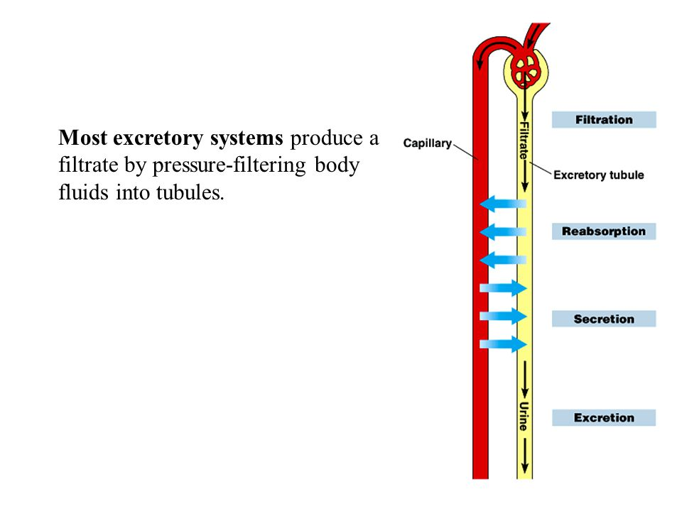 Most excretory systems produce a filtrate by pressure-filtering body fluids into tubules.