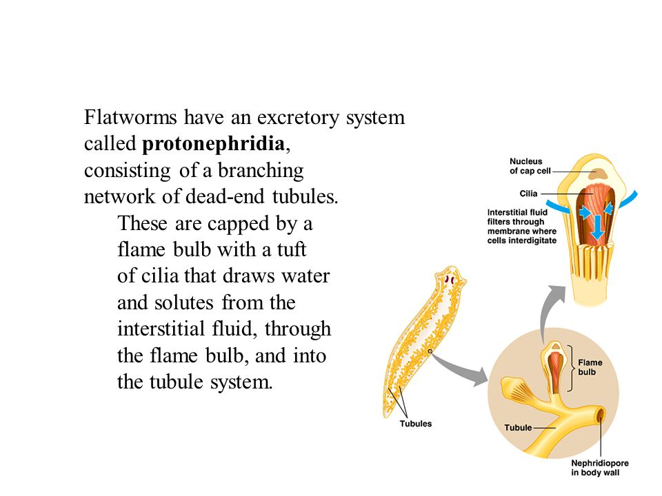 Flatworms have an excretory system called protonephridia, consisting of a branching network of dead-end tubules.