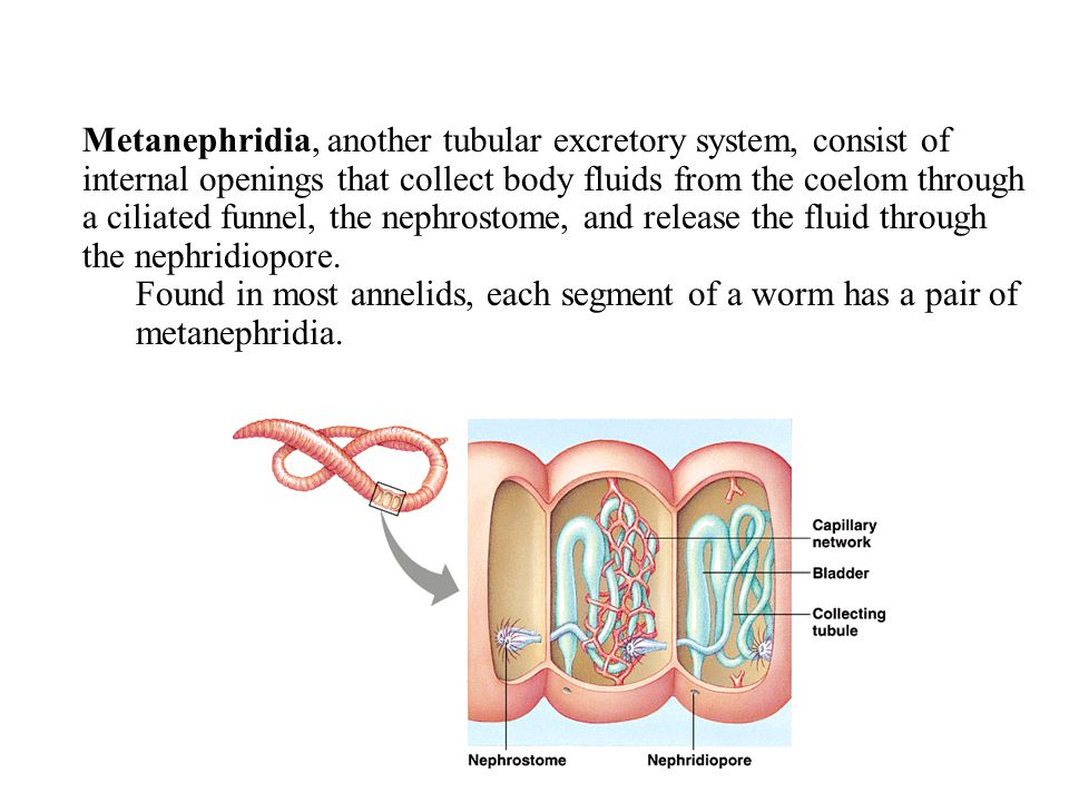 Metanephridia, another tubular excretory system, consist of internal openings that collect body fluids from the coelom through a ciliated funnel, the nephrostome, and release the fluid through the nephridiopore.