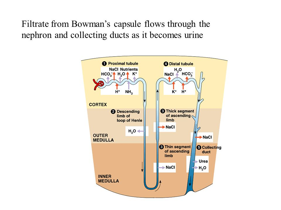 Filtrate from Bowman's capsule flows through the nephron and collecting ducts as it becomes urine