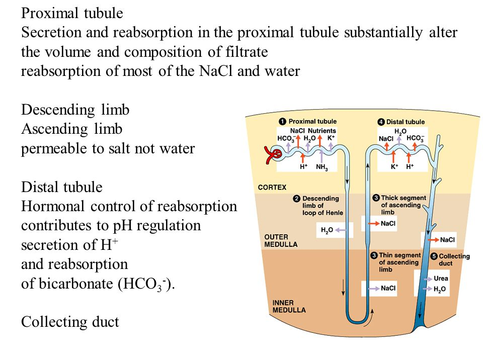 Proximal tubule Secretion and reabsorption in the proximal tubule substantially alter the volume and composition of filtrate.