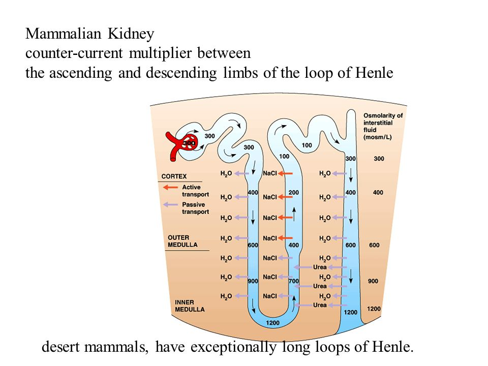 Mammalian Kidney counter-current multiplier between the ascending and descending limbs of the loop of Henle.