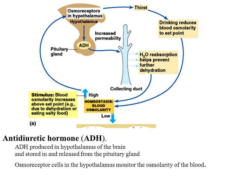 Antidiuretic hormone (ADH).