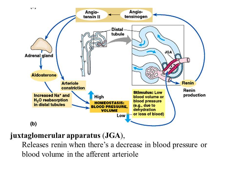 juxtaglomerular apparatus (JGA),