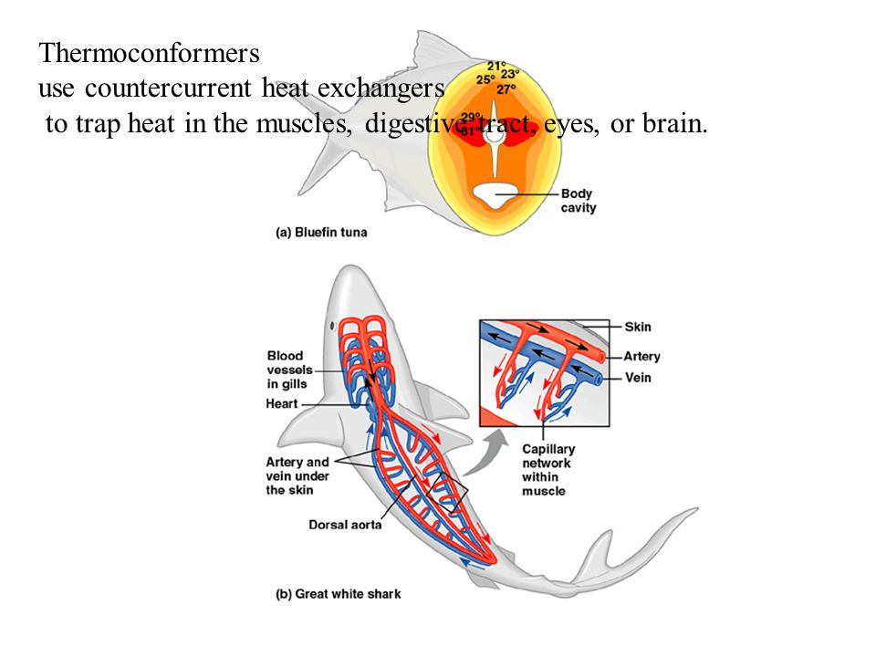 Thermoconformers use countercurrent heat exchangers.