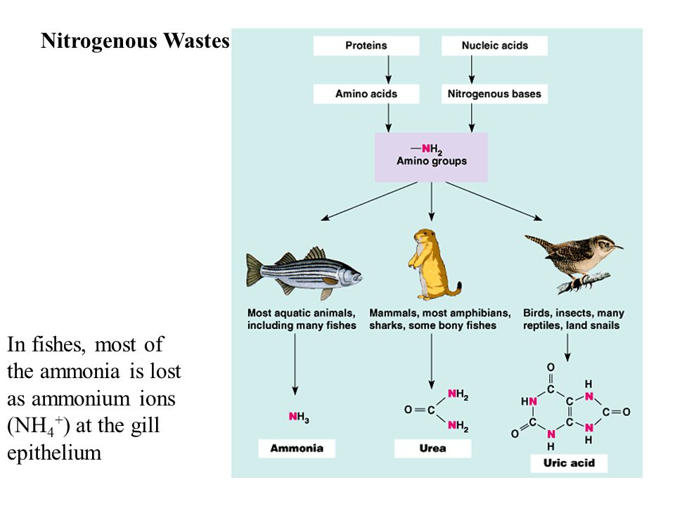 Nitrogenous Wastes In fishes, most of the ammonia is lost as ammonium ions (NH4+) at the gill epithelium.