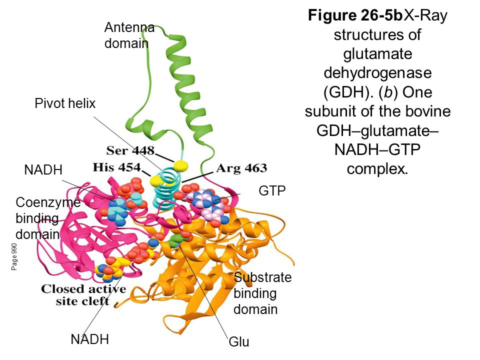 Antenna domain Figure 26-5b X-Ray structures of glutamate dehydrogenase (GDH). (b) One subunit of the bovine GDH–glutamate–NADH–GTP complex.