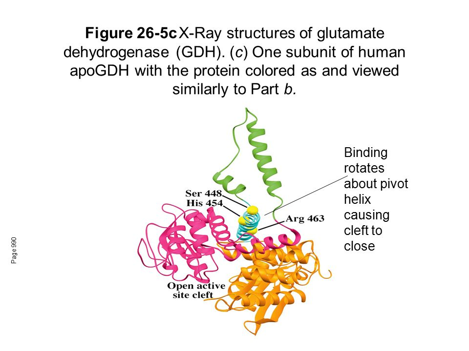 Figure 26-5c. X-Ray structures of glutamate dehydrogenase (GDH)