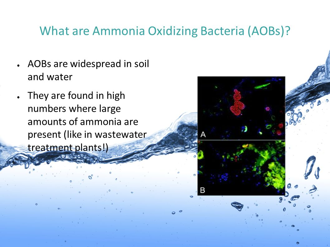 What are Ammonia Oxidizing Bacteria (AOBs)