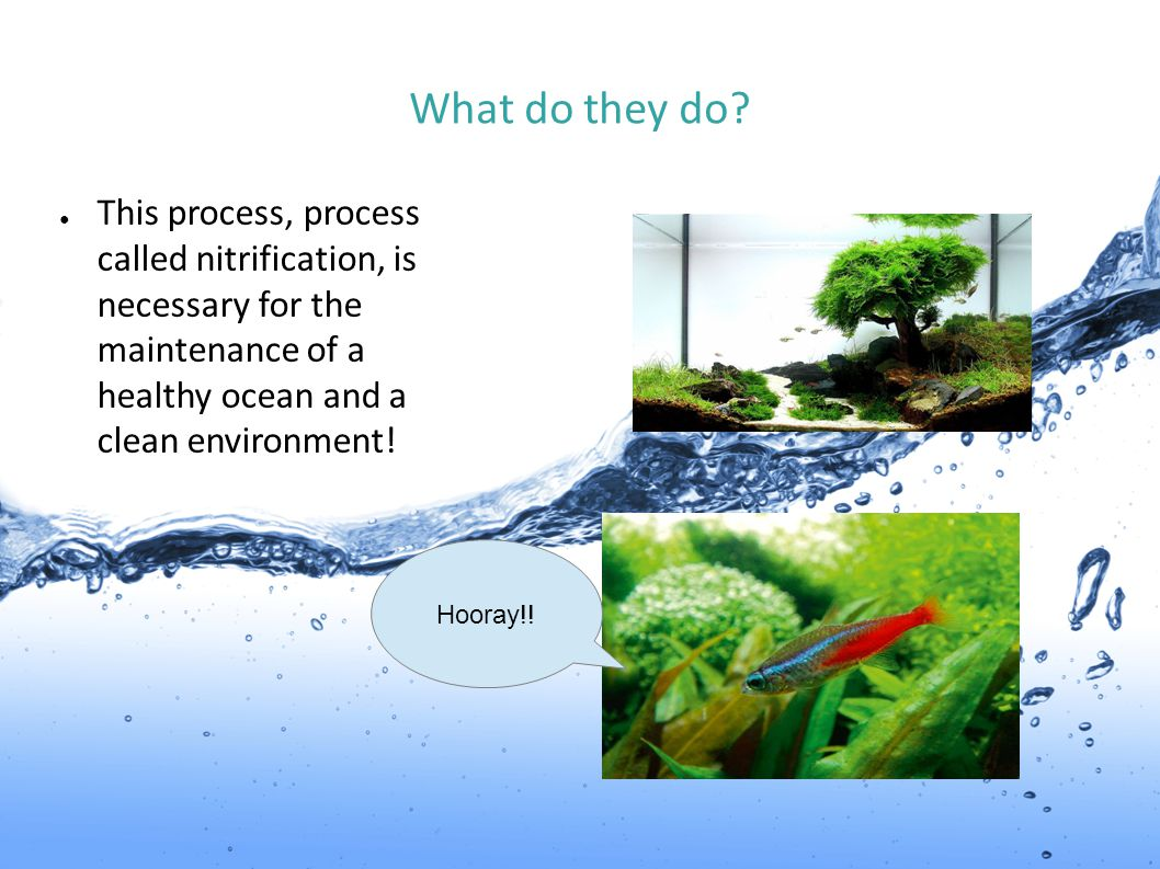 What do they do This process, process called nitrification, is necessary for the maintenance of a healthy ocean and a clean environment!