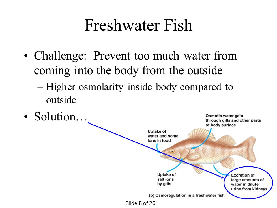 Freshwater Fish Challenge: Prevent too much water from coming into the body from the outside. Higher osmolarity inside body compared to outside.