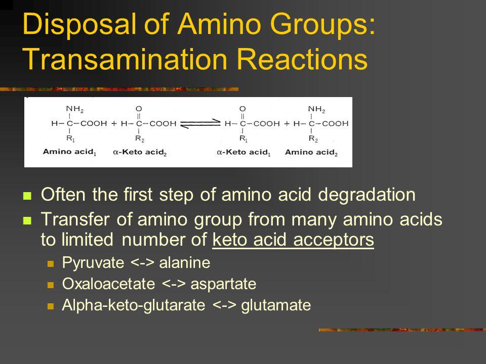 Disposal of Amino Groups: Transamination Reactions