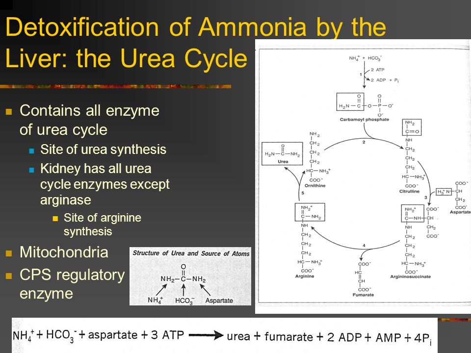 Detoxification of Ammonia by the Liver: the Urea Cycle