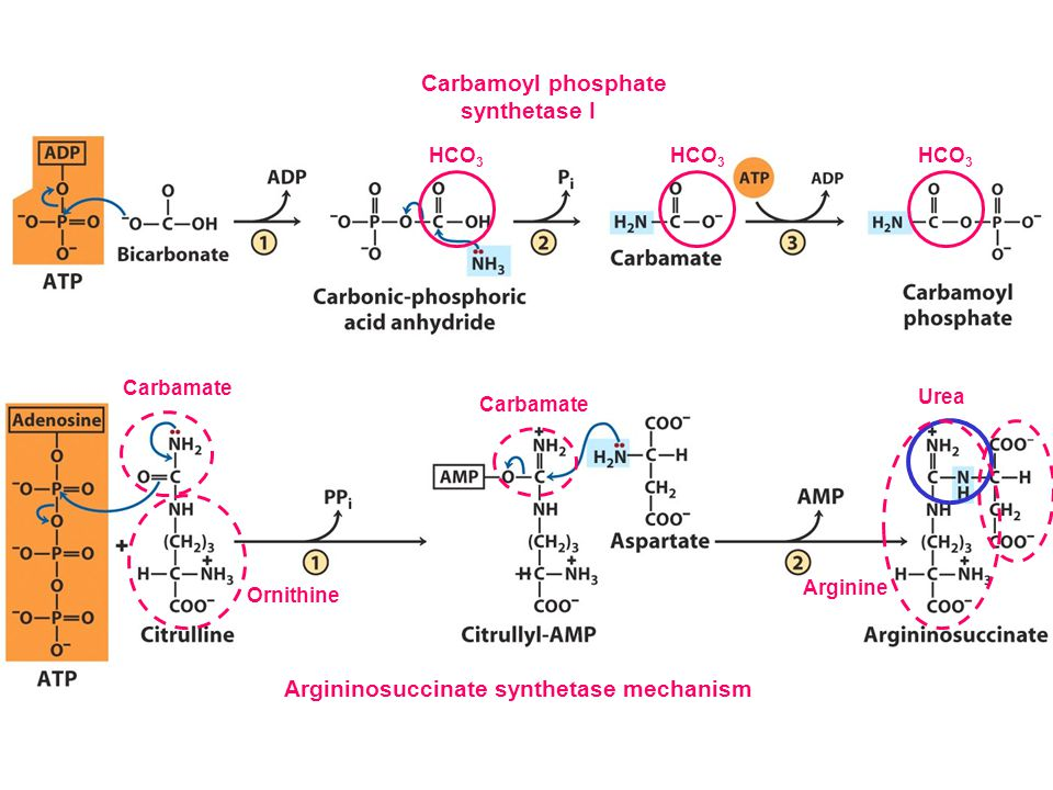 Argininosuccinate synthetase mechanism