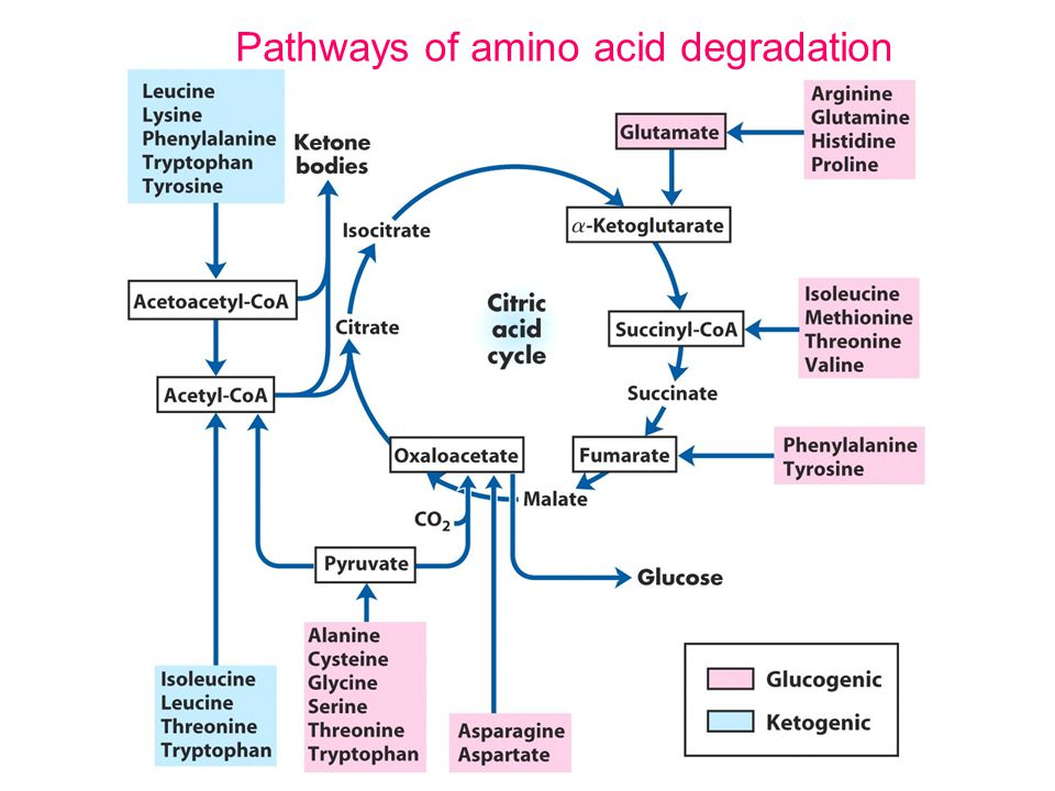 Amino acid oxidation and the production of urea - ppt video online download