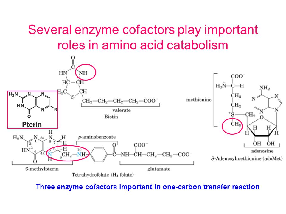 Several enzyme cofactors play important roles in amino acid catabolism