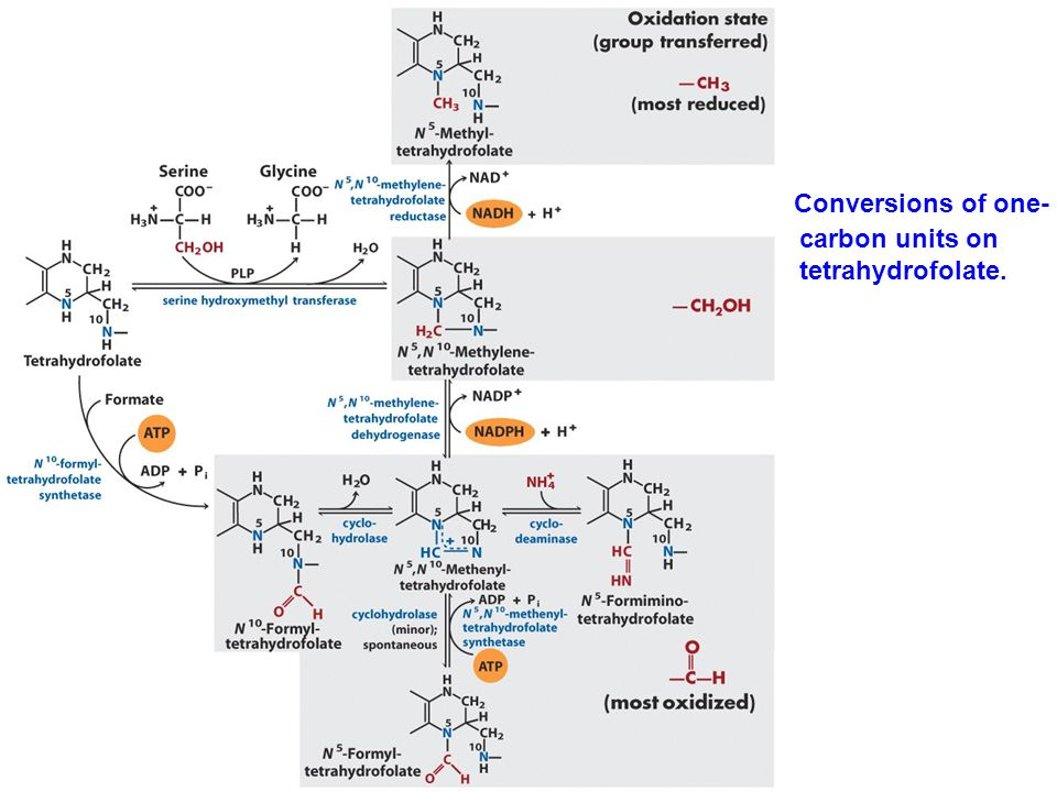 Conversions of one-carbon units on tetrahydrofolate.