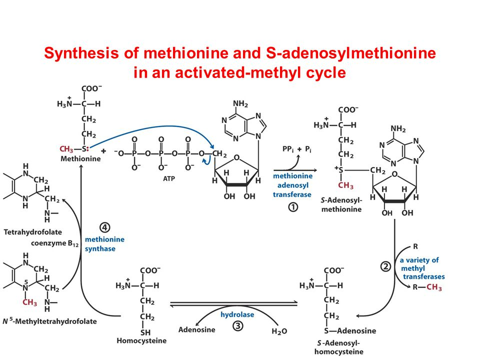Synthesis of methionine and S-adenosylmethionine in an activated-methyl cycle
