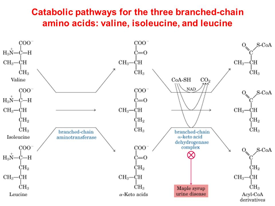 Catabolic pathways for the three branched-chain amino acids: valine, isoleucine, and leucine