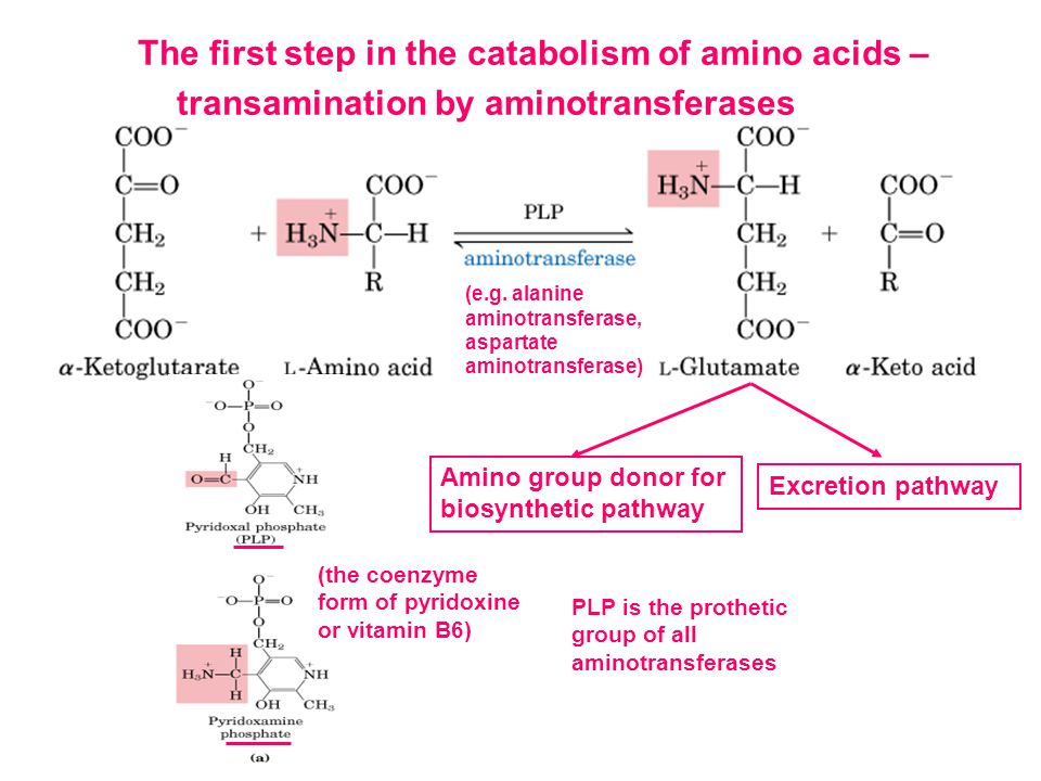 The first step in the catabolism of amino acids – transamination by aminotransferases