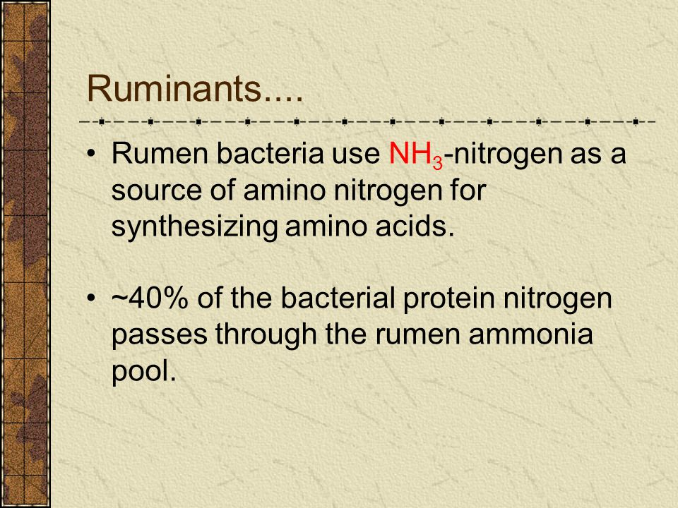 Ruminants.... Rumen bacteria use NH3-nitrogen as a source of amino nitrogen for synthesizing amino acids.