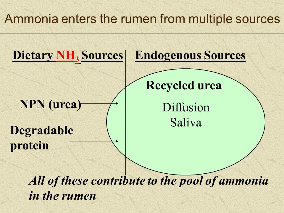 Ammonia enters the rumen from multiple sources