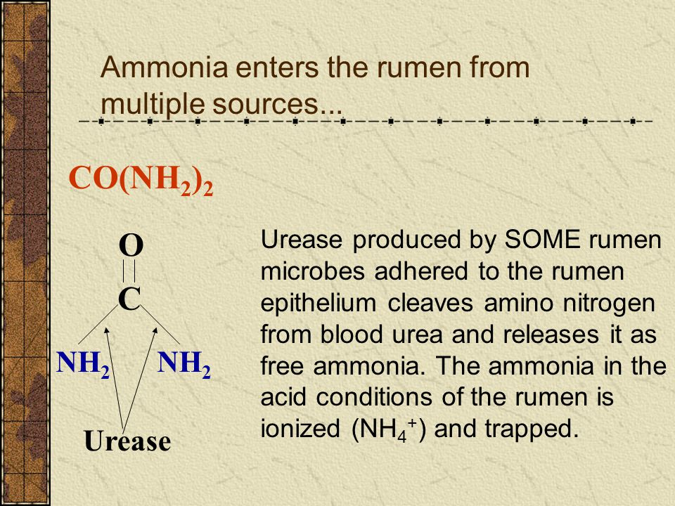 CO(NH2)2 O C Ammonia enters the rumen from multiple sources... NH2 NH2