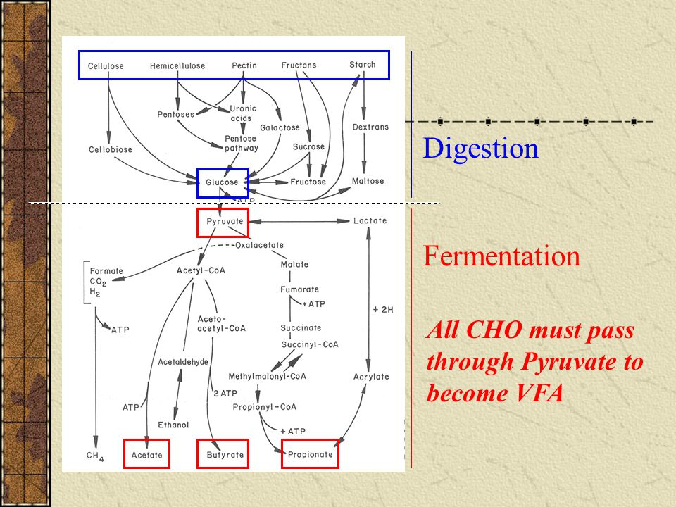 Digestion Fermentation All CHO must pass through Pyruvate to