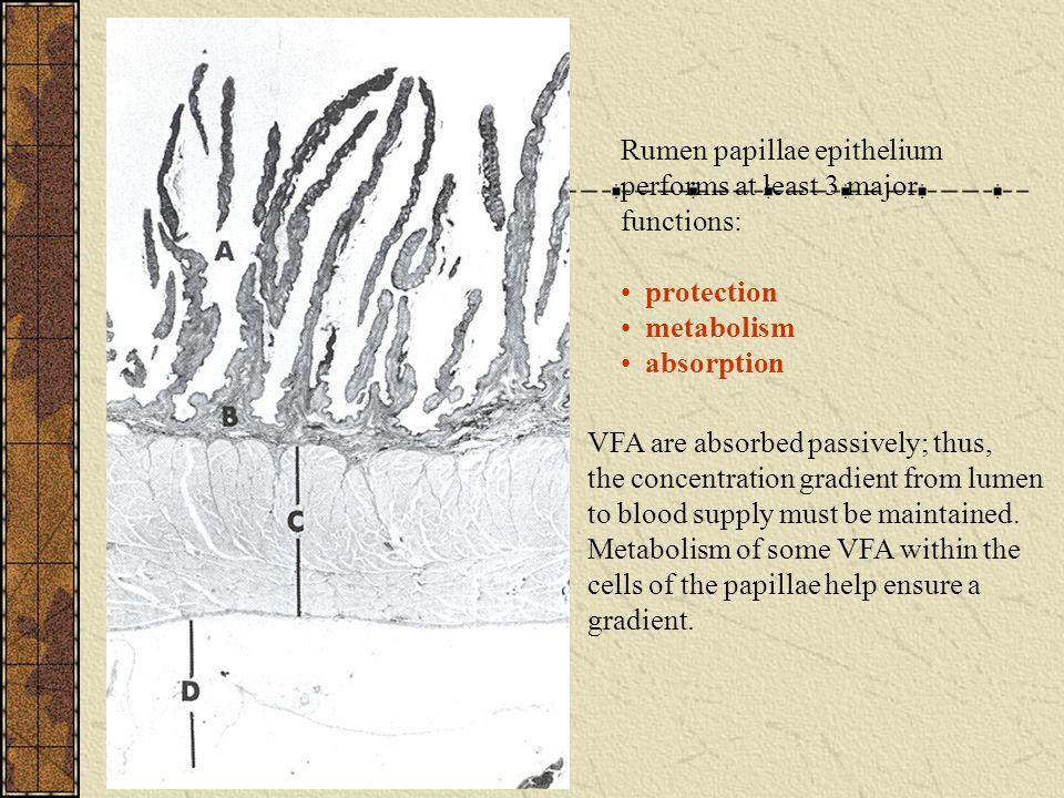Rumen papillae epithelium