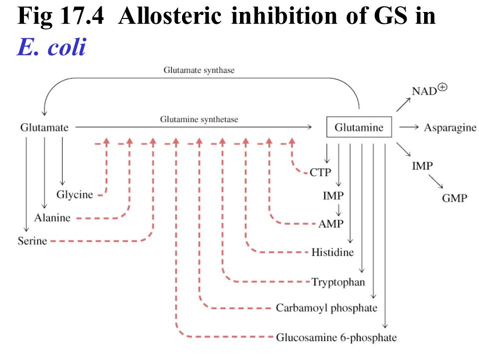 Fig 17.4 Allosteric inhibition of GS in E. coli