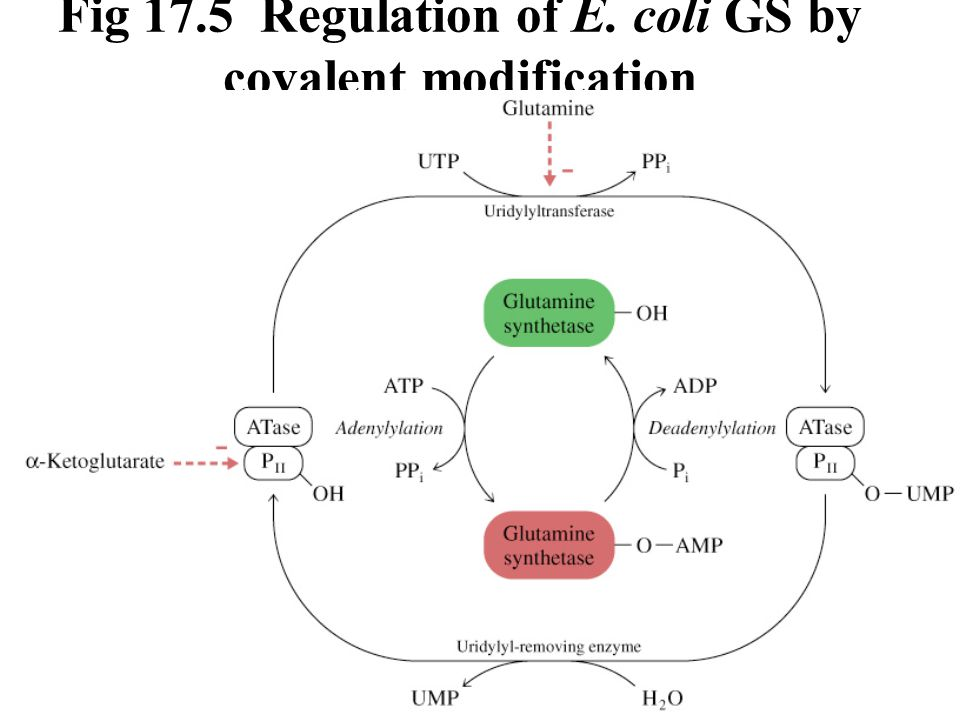 Fig 17.5 Regulation of E. coli GS by covalent modification
