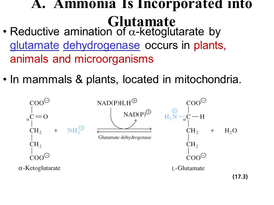 A. Ammonia Is Incorporated into Glutamate