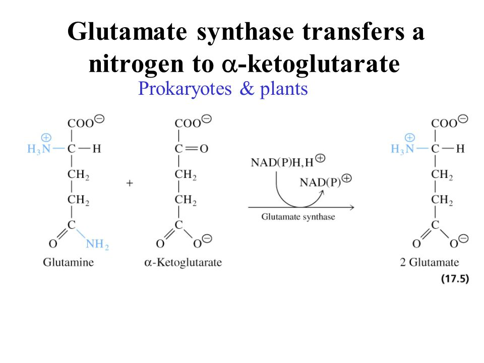 Glutamate synthase transfers a nitrogen to a-ketoglutarate