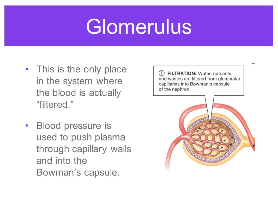 Glomerulus This is the only place in the system where the blood is actually filtered.