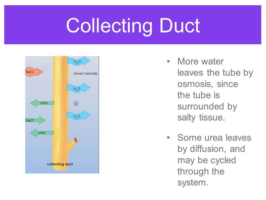 Collecting Duct More water leaves the tube by osmosis, since the tube is surrounded by salty tissue.