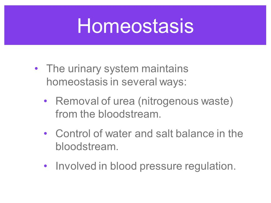 Homeostasis The urinary system maintains homeostasis in several ways: