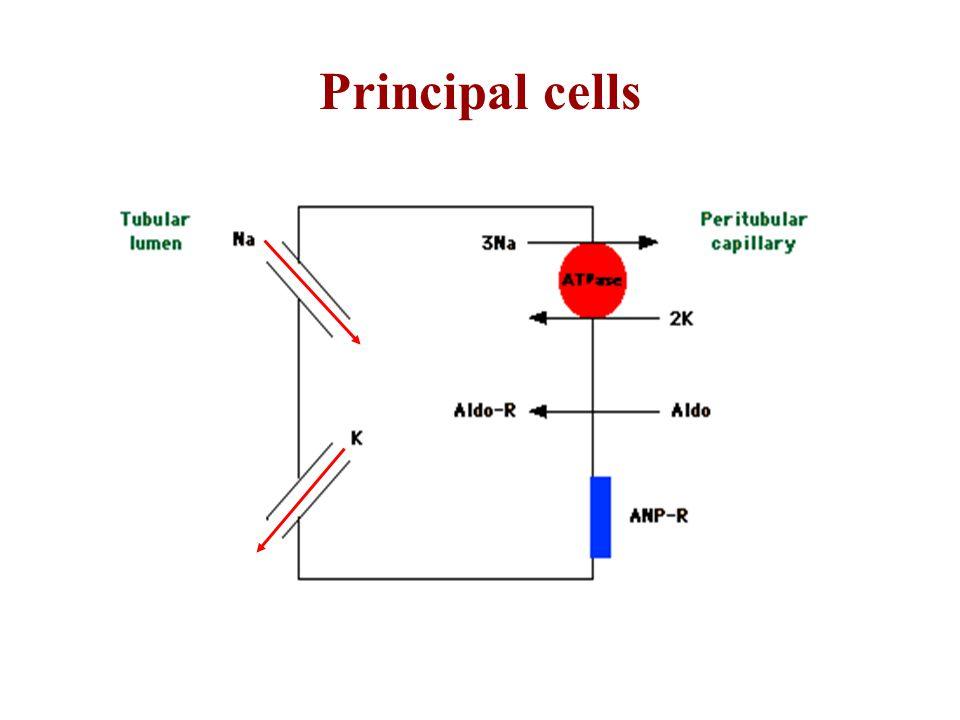 Principal cells