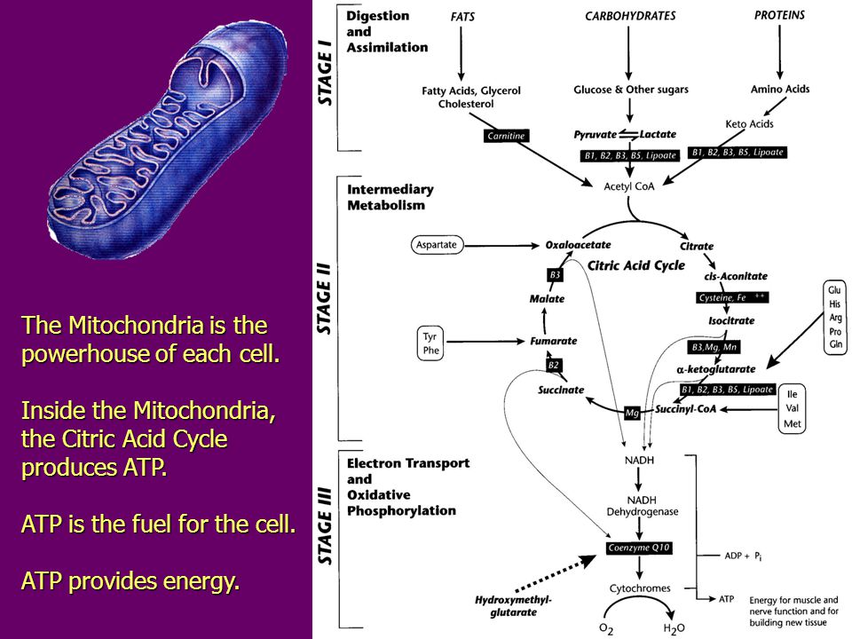 The Mitochondria is the