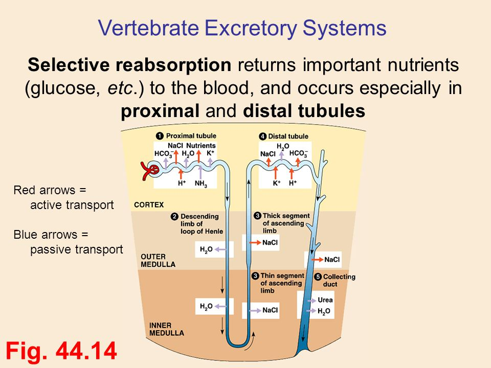Vertebrate Excretory Systems