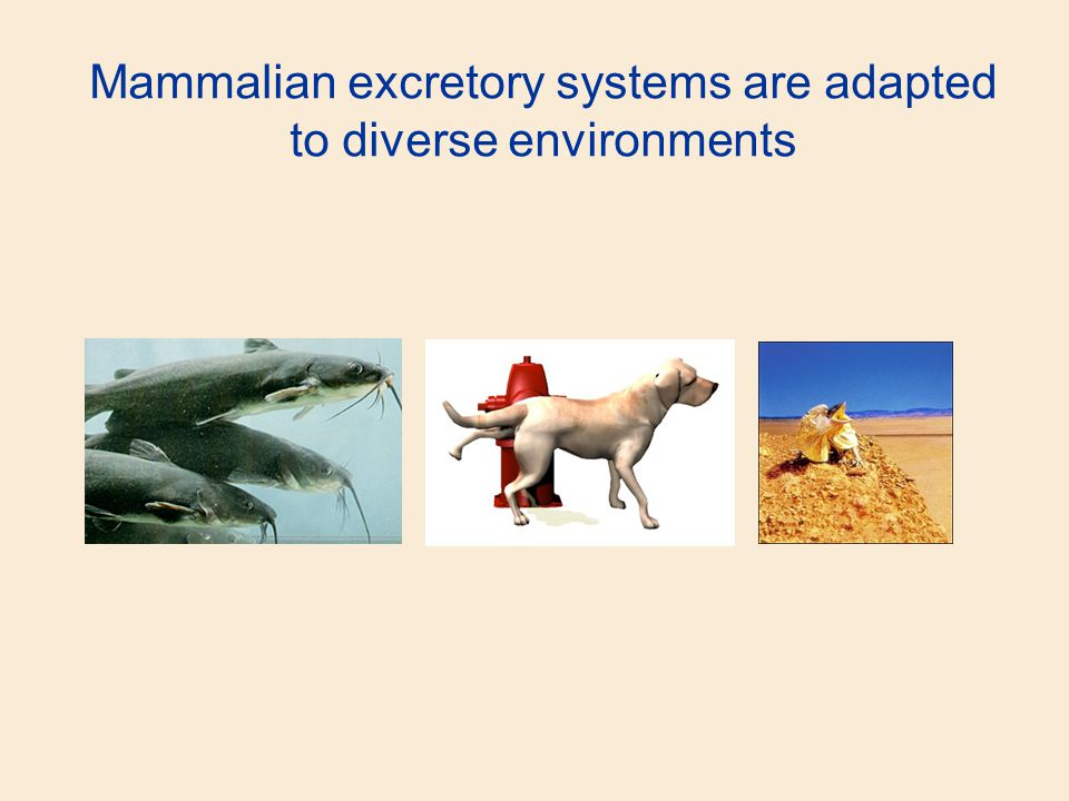 Mammalian excretory systems are adapted to diverse environments