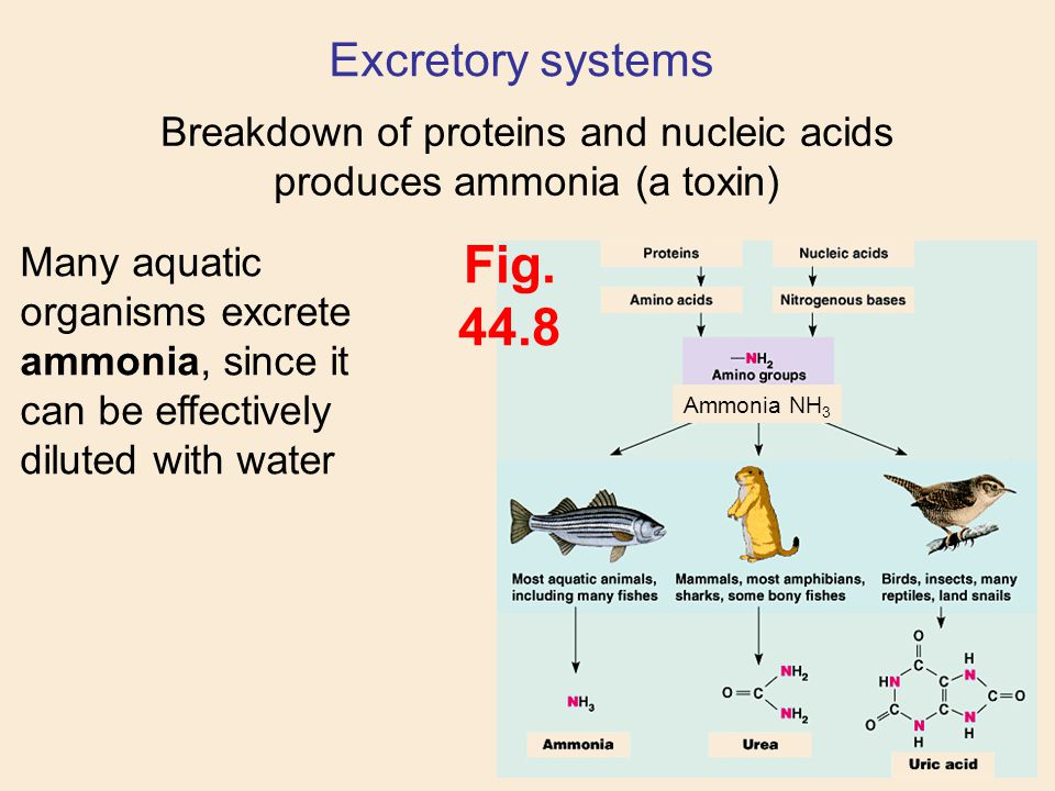 Breakdown of proteins and nucleic acids produces ammonia (a toxin)