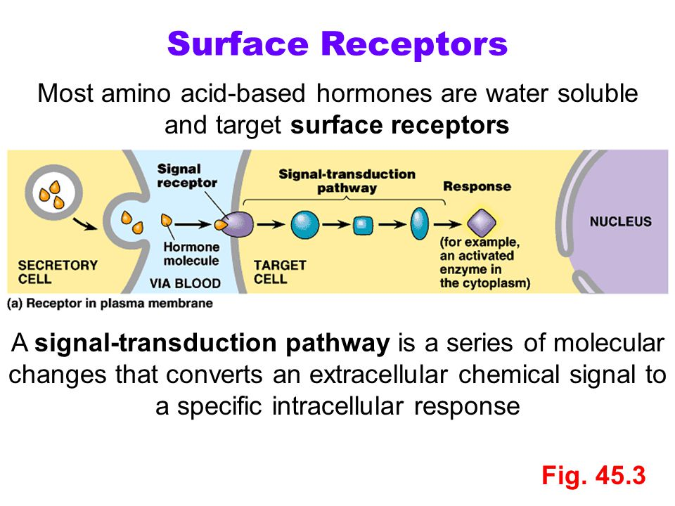 Surface Receptors Most amino acid-based hormones are water soluble