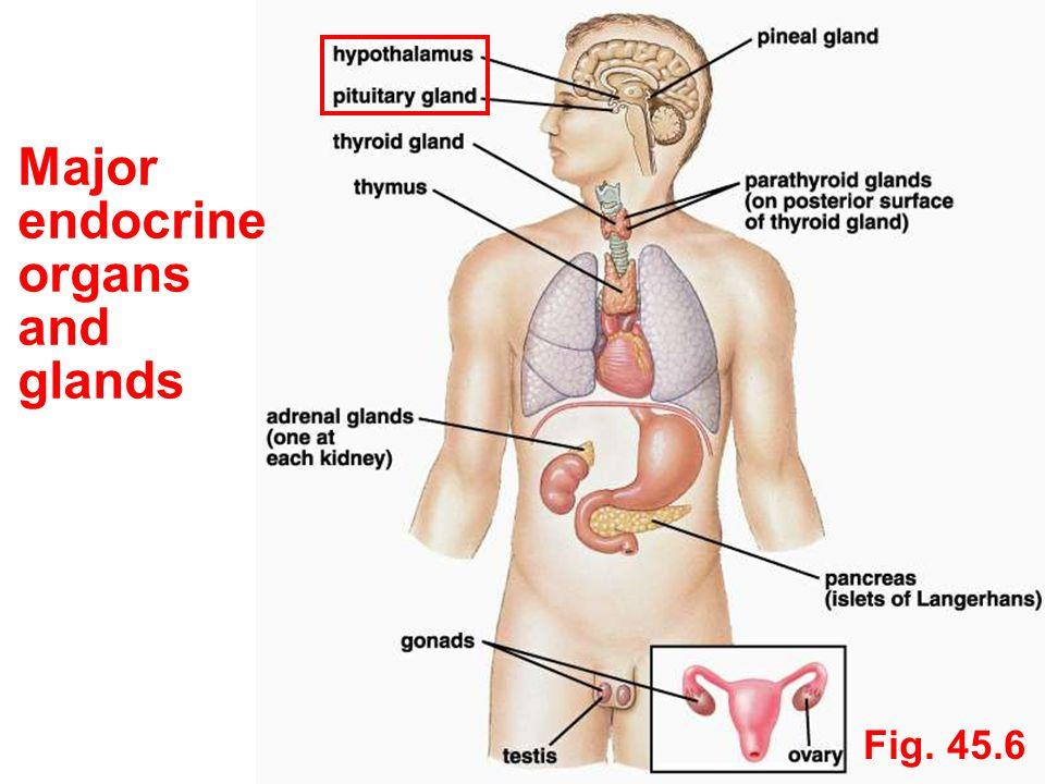 Major endocrine organs and glands