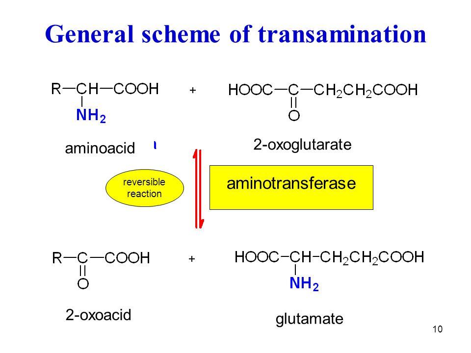 General scheme of transamination