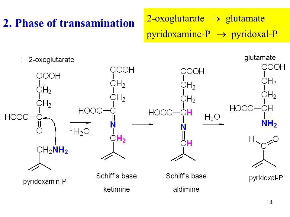 2. Phase of transamination